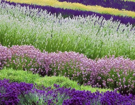 Not all lavender is, well, lavender in color. Varieties of this fragrant herb come in shades of purple and blue ranging from light to dark, as well as white, red, pink, and even yellow-green.