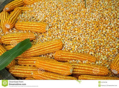 Glowing Yellow Corn Seed Royalty Free Stock Image   Image