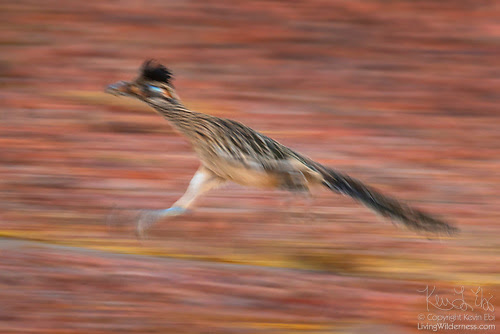 Roadrunner in Motion, Sonoran Desert, Arizona
