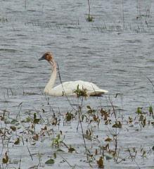Tundra swan looks bloody