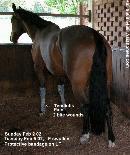 Singapore horse. Left fore tendinitis