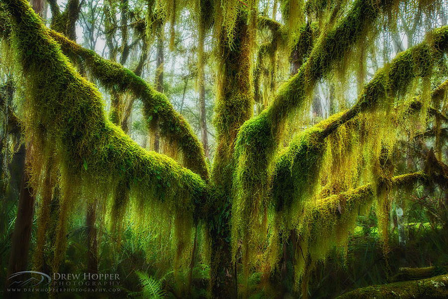 The antarctic beech is native to Chile and Argentina, though this specimen is from the U.S.' North Pacific region. By Drew Hopper