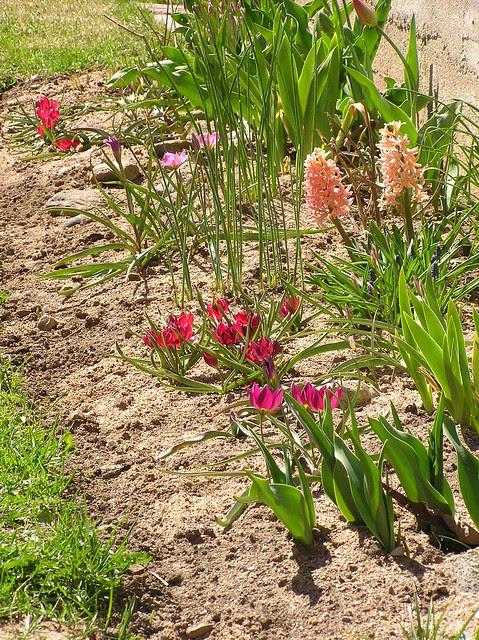 Hyacinthus 'Gipsy Queen' & tulips
