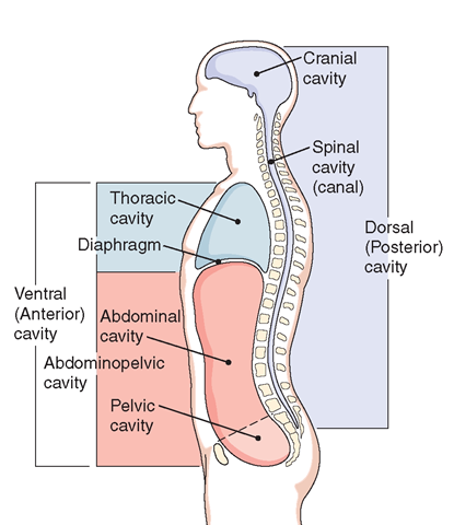 Body Regions Diagram