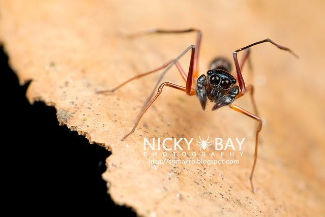 Kerrengga Ant-Like Jumper (Myrmarachne plataleoides) - DSC_8546