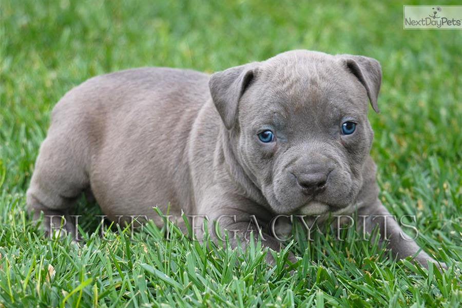 Buy Puppies For Sale Pitbull In England UK