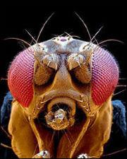 Foto ampliada de uma mosca de fruta