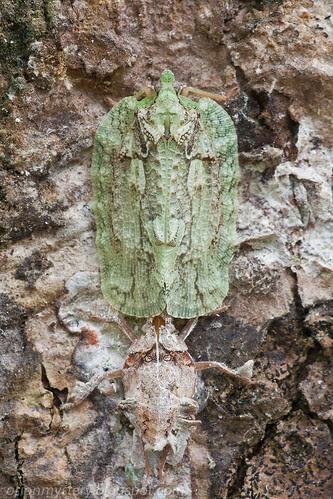 Flatidae, sub family FlatoidinaeIMG_4839 copy