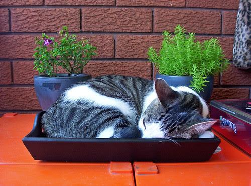 Coffee Tray Cat