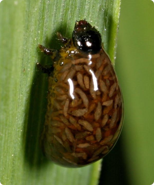 Красногрудая пьявица (лат. Oulema melanopus)