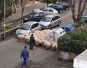 Pecore in via di Casalotti