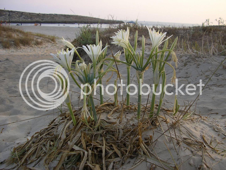 חבצלת החוף בחוף טנטורה