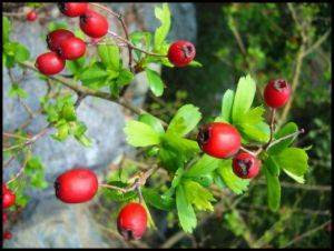 http://www.innatia.com/imagenes/propiedades-rosa-mosqueta.jpg