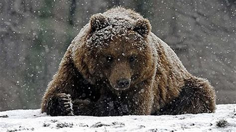 bear theme  windows