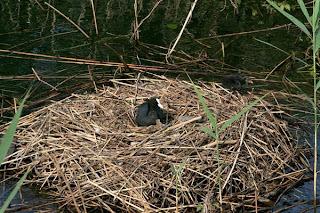 Una folaga riutilizza il nido ormai abbandonato
