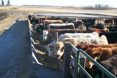 cattle_feedlot_04
