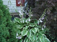 Hosta bloomage
