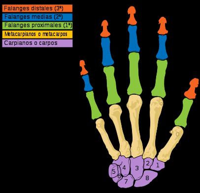 406px scheme_human_hand_bones es com svg