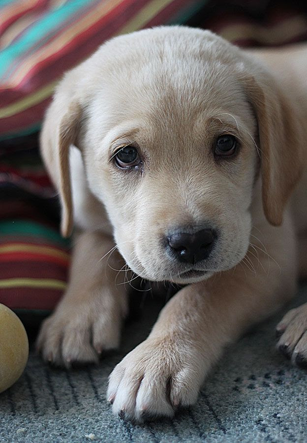 Buy Yellow Lab Puppies For Sale In Georgia USA