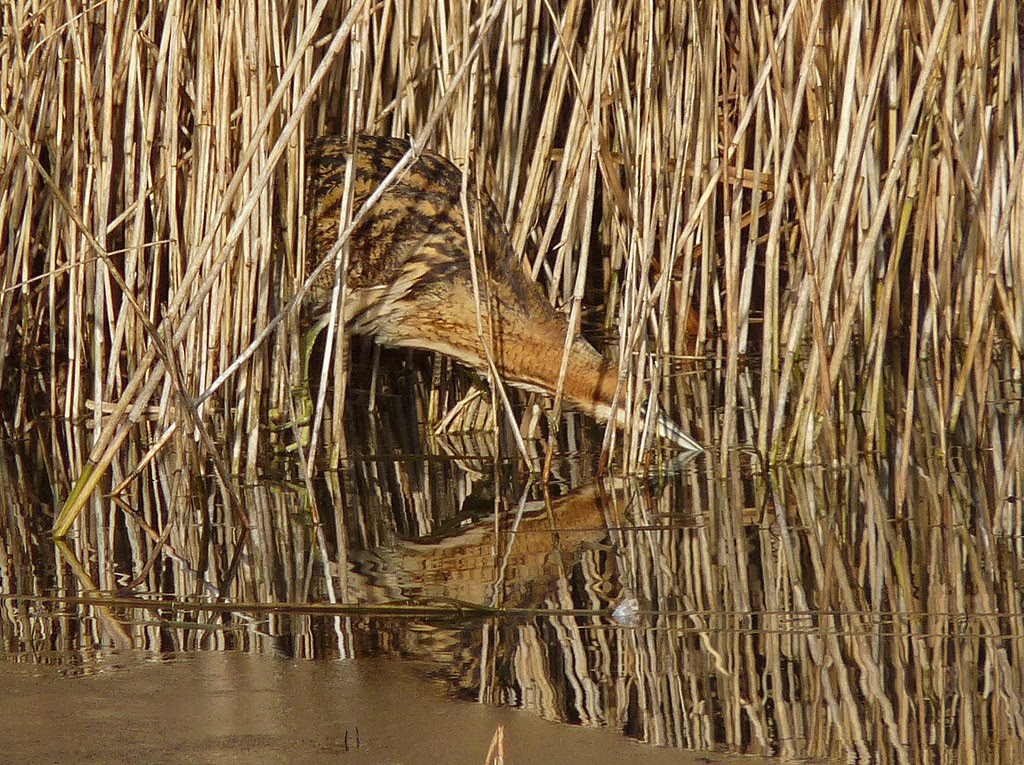 11932 - Bittern at Forest Farm