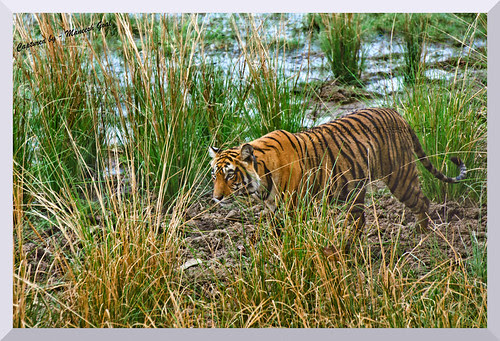 Habitat shot: Tigress (T-17 / Sundari) walking beside the Rajbagh Lake, Ranthambhore National Park