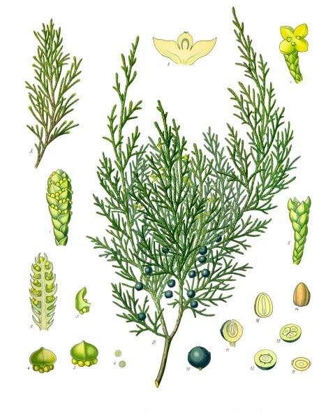 Datei:Juniperus sabina - Köhler–s Medizinal-Pflanzen-212.jpg