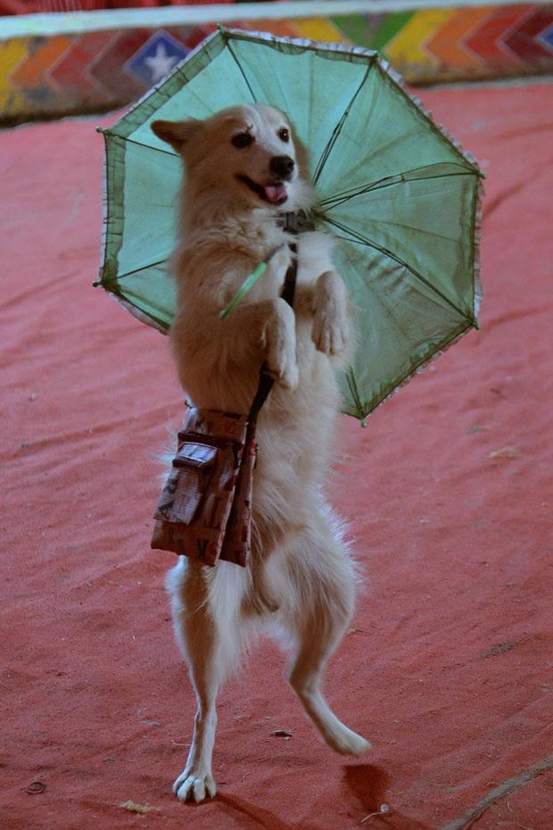 Um cão caminhou em duas patas segurando um guarda-chuva durante um show do circo Apollo em Amritsar, na Índia, nesta quinta-feira (21) (Foto: Narinder Nanu/AFP)
