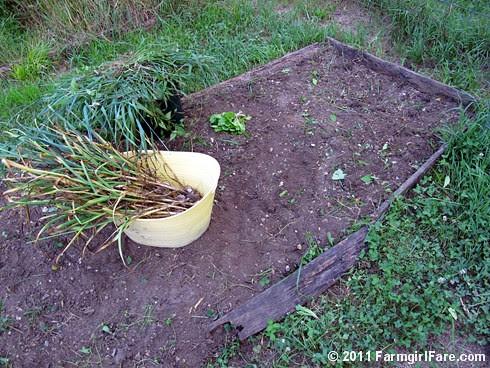 7 Volunteer hardneck garlic harvested in my kitchen garden on 6-18-11 - FarmgirlFare.com