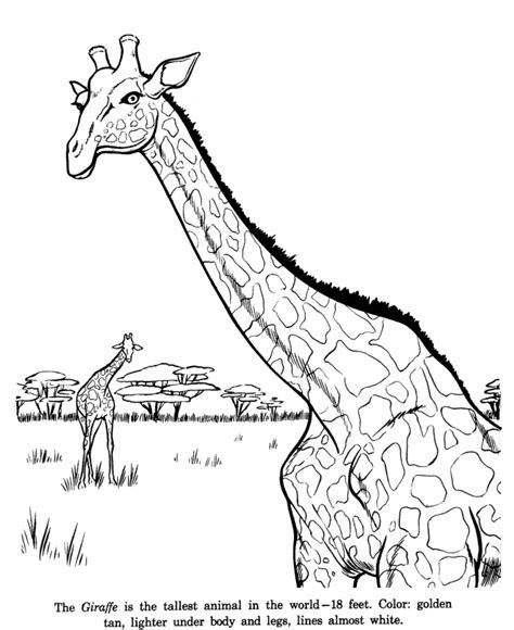 animal drawings coloring pages giraffe animal