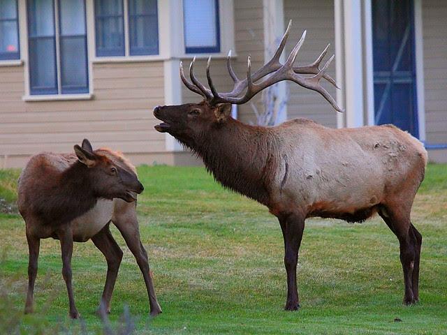 IMG_0134 Elk, Mammoth Hot Springs