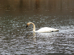 Boxley swan