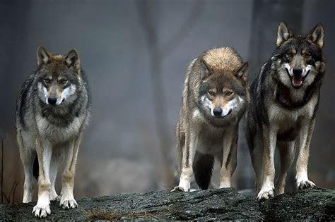 images  werewolfs pics  pinterest wolves