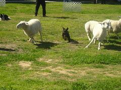 sheepherding_schnauzer