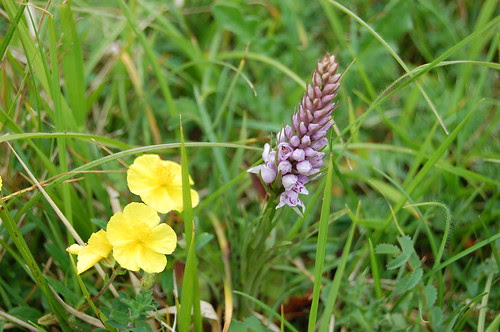 Rock rose and common spotted orchid