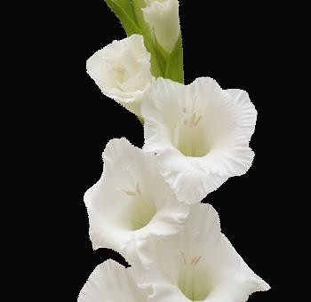 Buy Wholesale Fresh Cut White Gladiolus Flower For Wedding