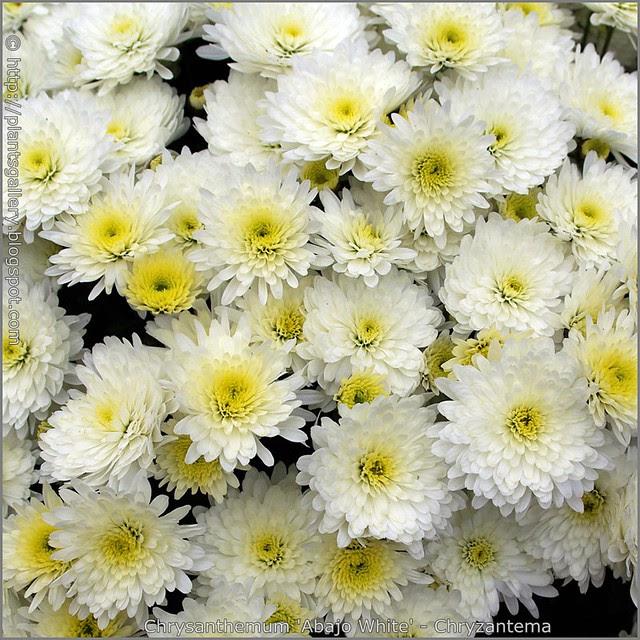 Chrysanthemum 'Abajo White' - Chryzantema 'Abajo White' kwiaty