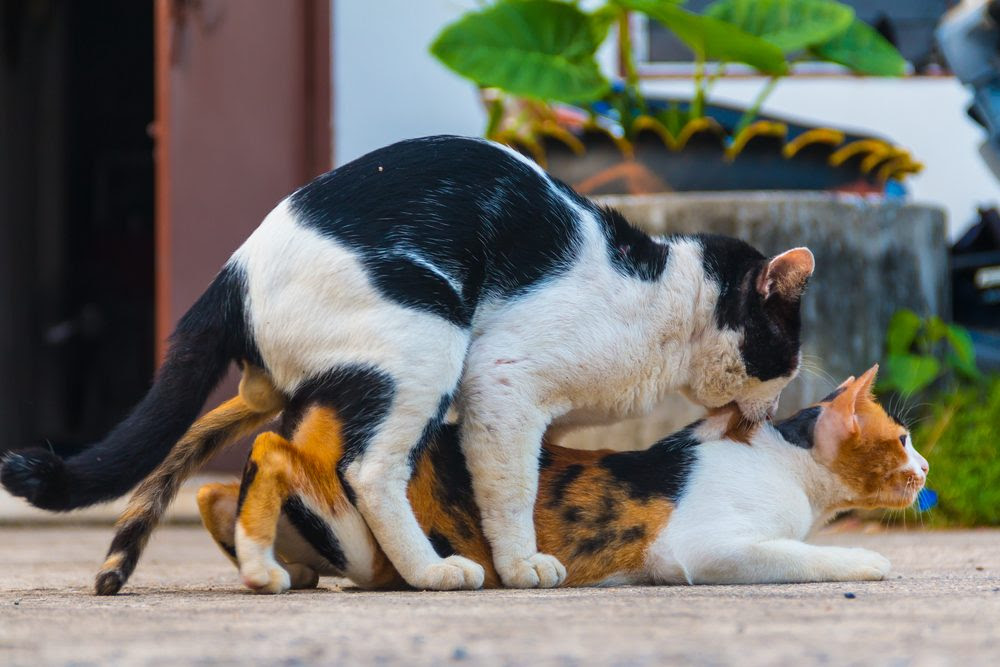 Why Do Female Cats Screech After Mating And Attack The Male Lovecats