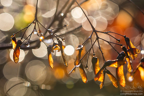 Raindrops on Maple Tree, Winter, Snohomish County, Washington