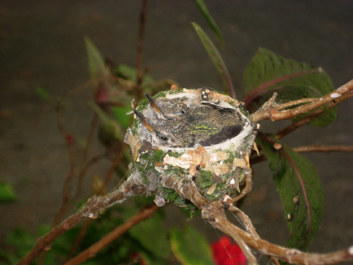 Hummingbird Nest 1