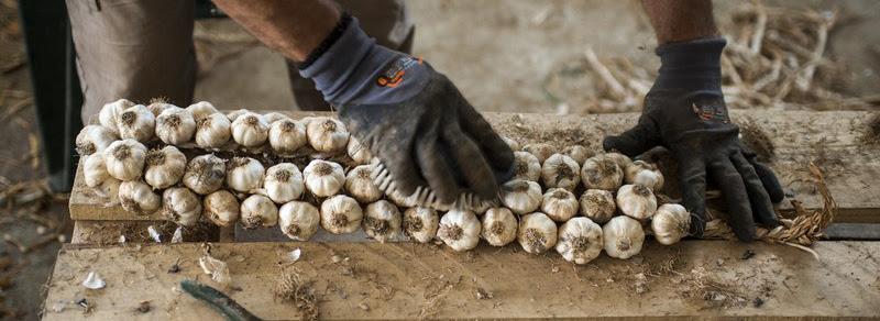 coltivazione aglio rosso