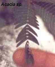 mimosa tropismo