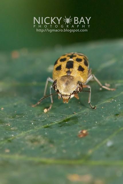 Flower Tumbling Beetle (Mordellidae) - DSC_6923