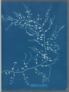 Cystoseira fibrosa. Digital ID: 419703. New York Public Library