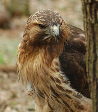 Rufous morph