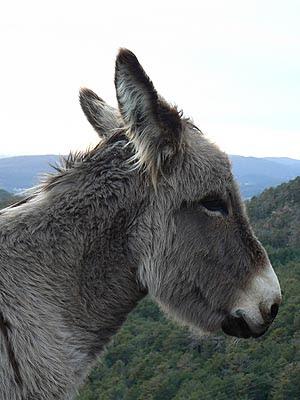 le petit âne de Bargème