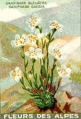 fleurs alpes 10