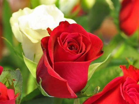 wedding red rose flower wallpapers love roses pictures