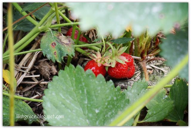 strawberry pickin'