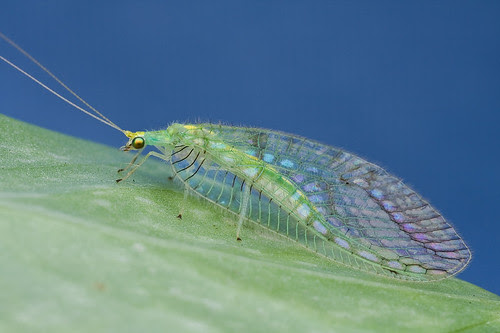 chrysopidae lacewing IMG_4021 copy