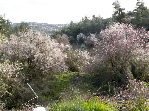 Almond Trees in Blossom  - Jerusalem Hills